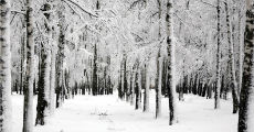 winter forest 230-x-120